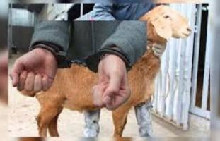 В Пахтачи задержали вора овец и коз